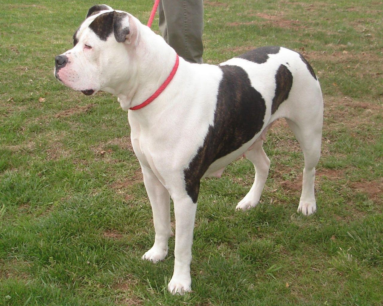 bulldog breeds American Bulldog Breed Australian
