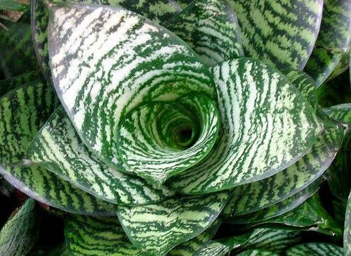 * Sansevieria trifasciata hahnii
