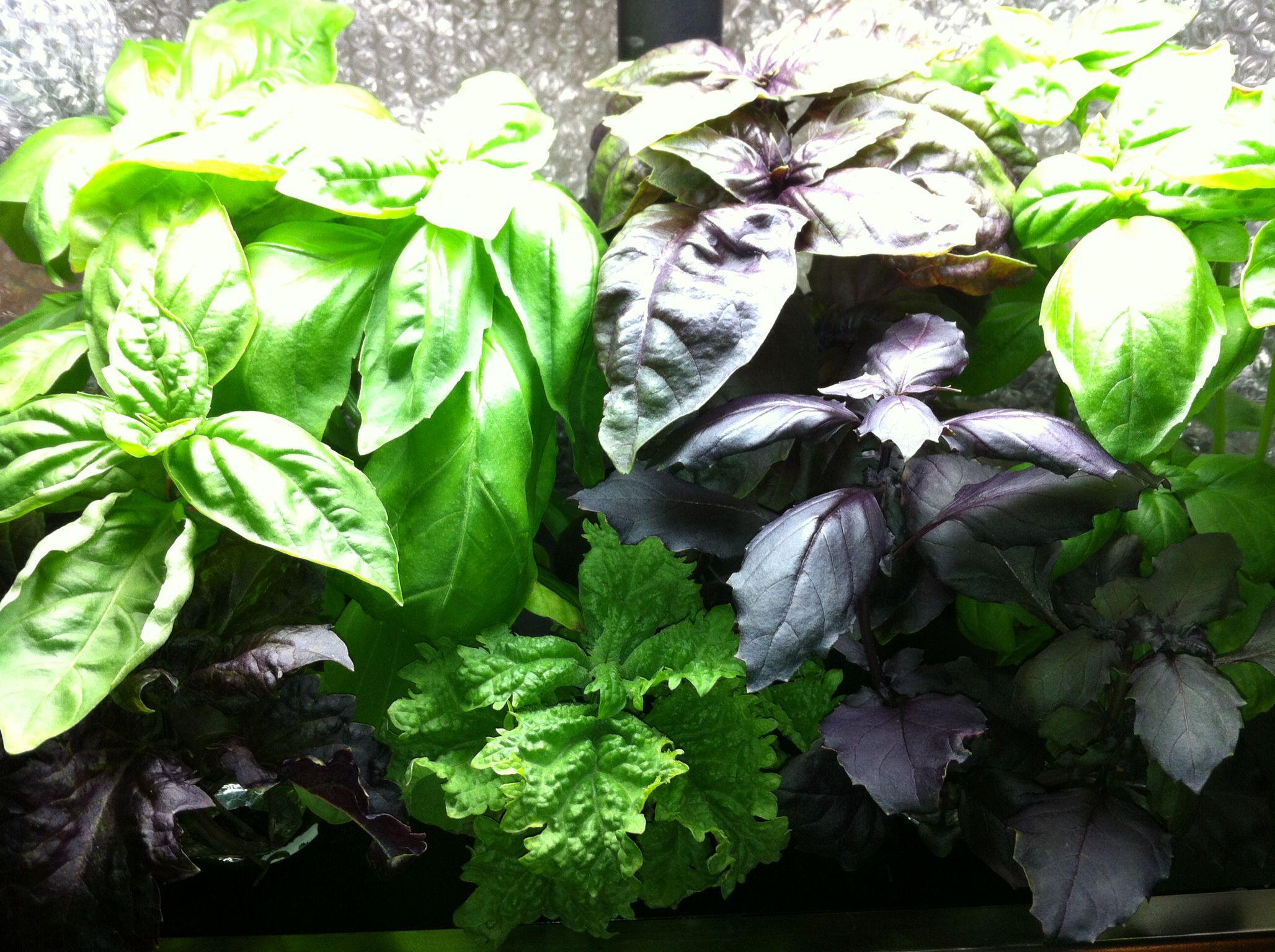 My Aerogarden Basil Aerogarden Plants Garden 400 x 300