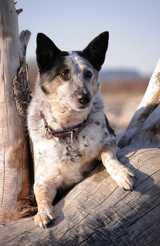 Scout032312b Austrailian Cattle Dog Dogs Dog Lady