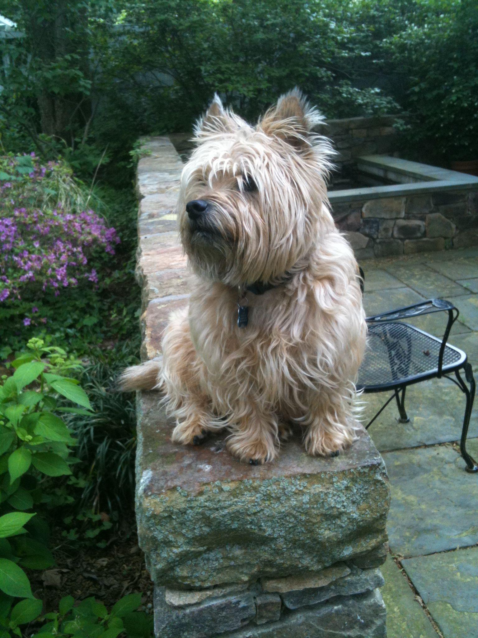 Casey Cairn Terrier King Of Scotland Cairn Terrier Terrier
