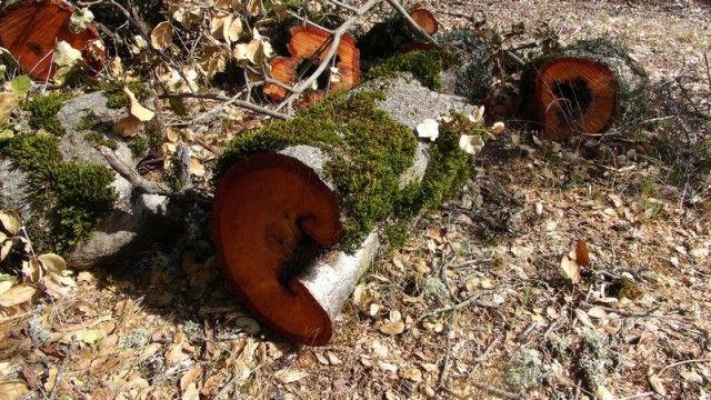 Спиленные деревья на горе Диаболо. © Сабитова Д. Р. (http://feruza.livejournal.com/). #Tree #Trees #Moss #Mosses #Diablo #California