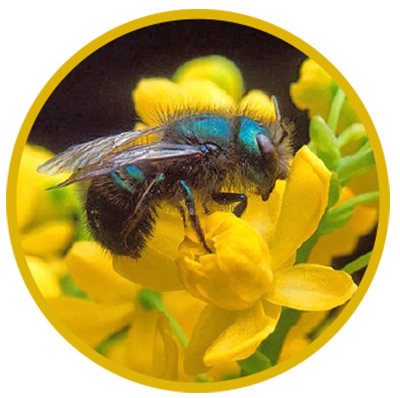 Most people can recognize non-native, ever- present European honey bees, but man...#bees #european #honey #man #nonnative #people #present #recognize