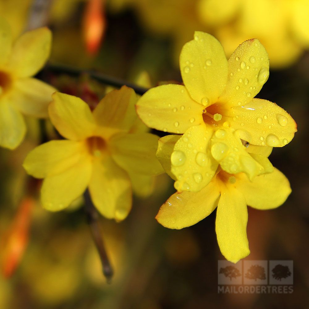 Jasminum Nudiflorum Winter Jasmine Plant Mail Order Trees