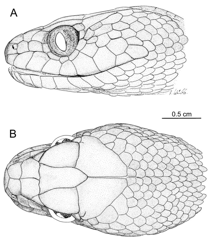 Download Scientific Diagram Head Drawings Of Madagascarophis Fuchsi Sp Nov Holotype Zsm 2130 2007 A Lateral View Snake Drawing Snake Sketch Snake Art