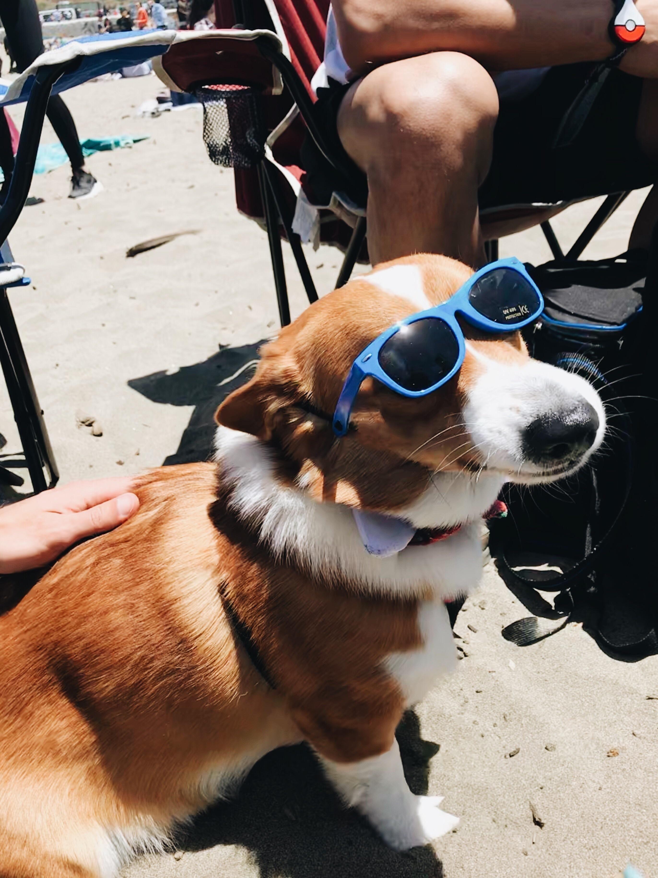 I Met This Cool Guy At Corgi Con In San Francisco Corgi