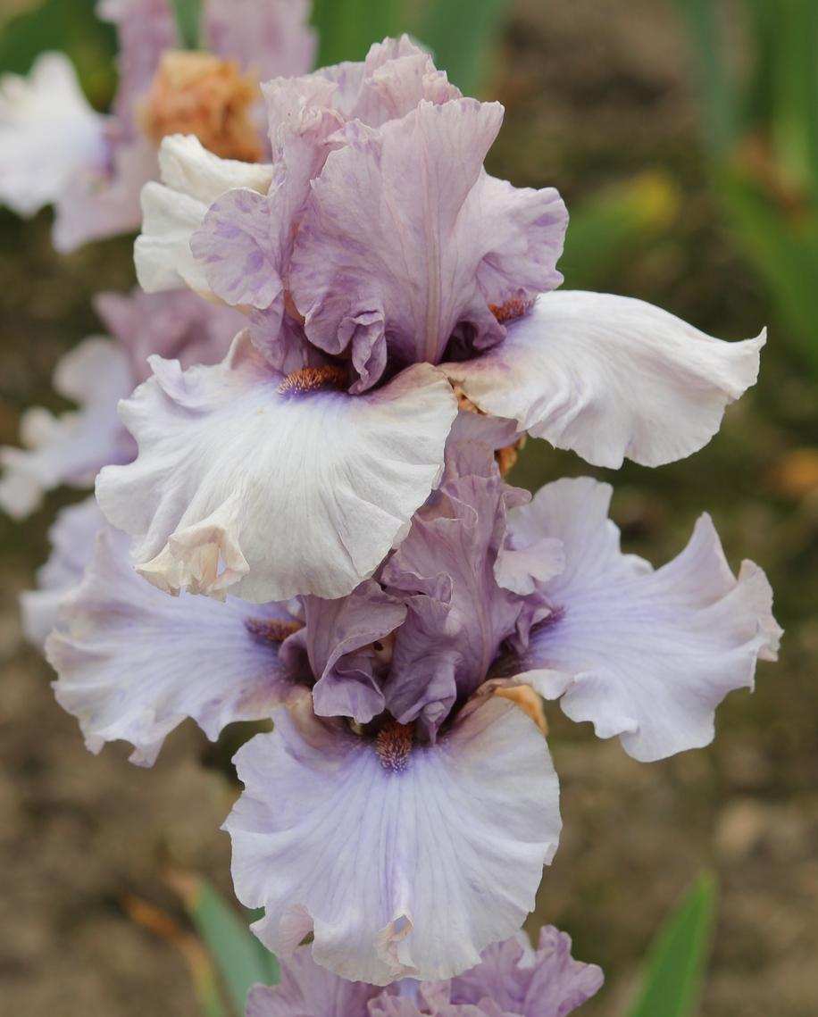 De 20 b sta id erna om iris fleur p pinterest jardin for Aubade jardin d iris