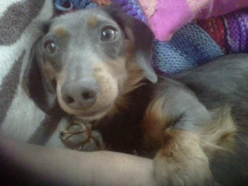 Long Haired Dachshund Bennett Needs A Home In Toronto Adoptable