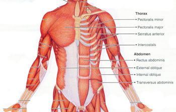 muscles of the trunk including info on origin and insertion points