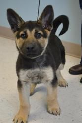 Gino Is An Adoptable German Shepherd Dog Dog In Garden City Ks
