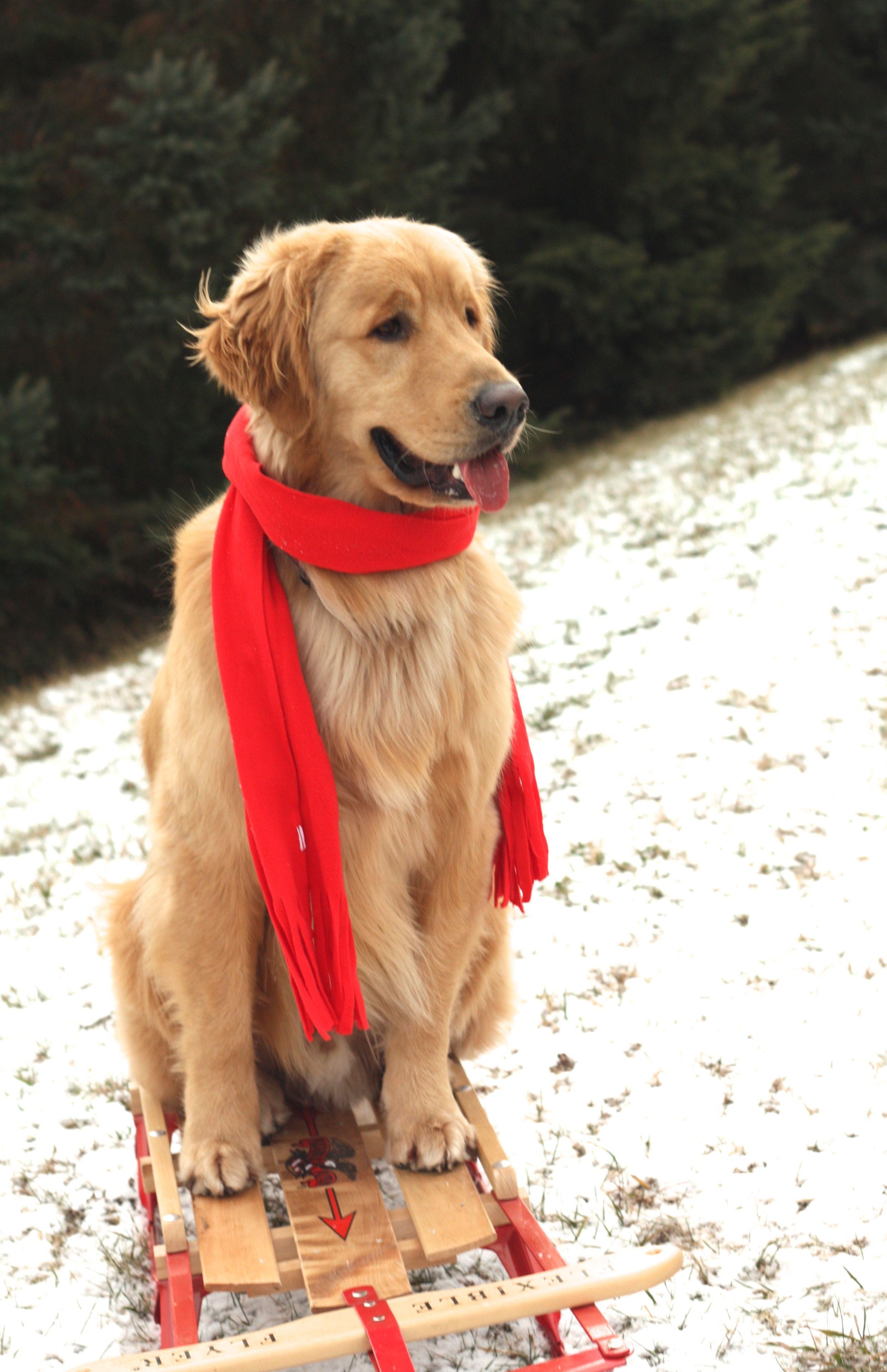 Pin By Lynda Sorrells On So Cute Dogs Golden Retriever