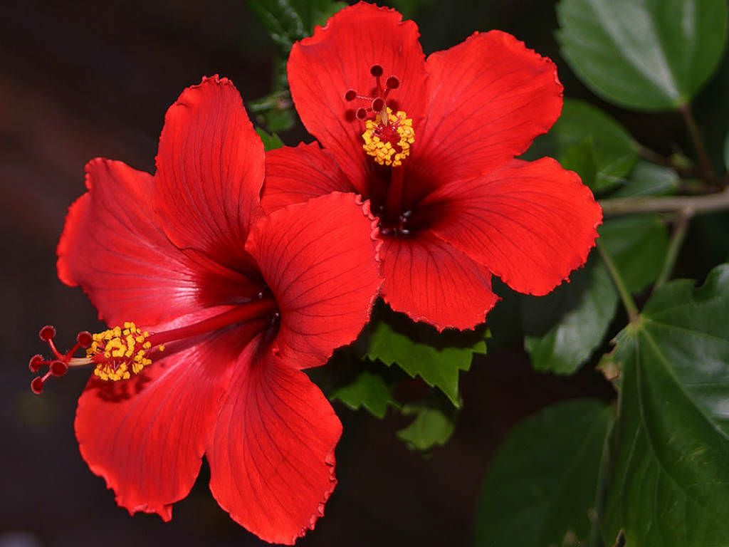 Hibiscus rosa sinensis china rose hibiscus rosa sinensis hibiscus rosa sinensis china rose world of flowering plants izmirmasajfo