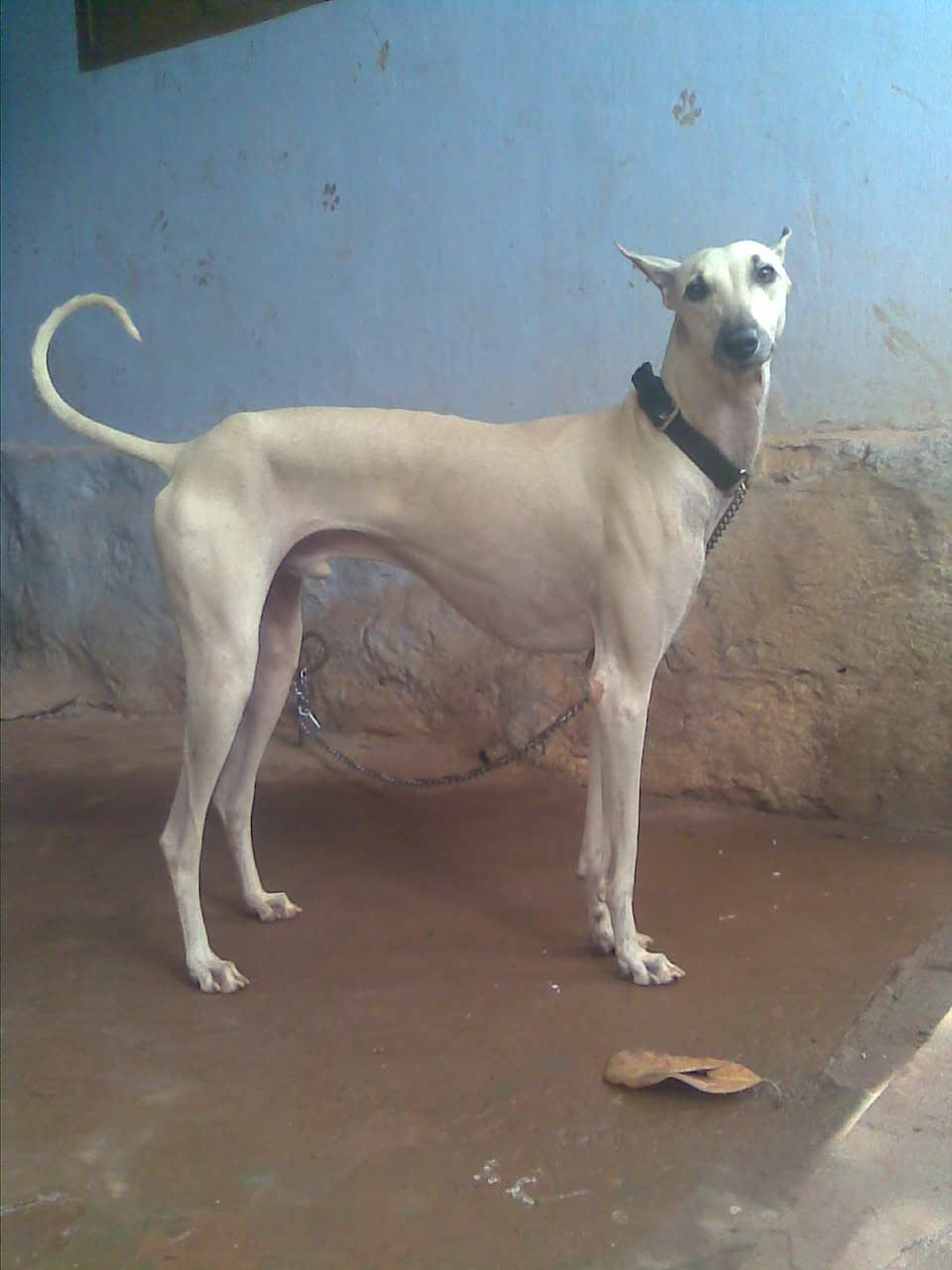 Indian Greyhound Chippiparai | Chippiparai | Dogs, Dog