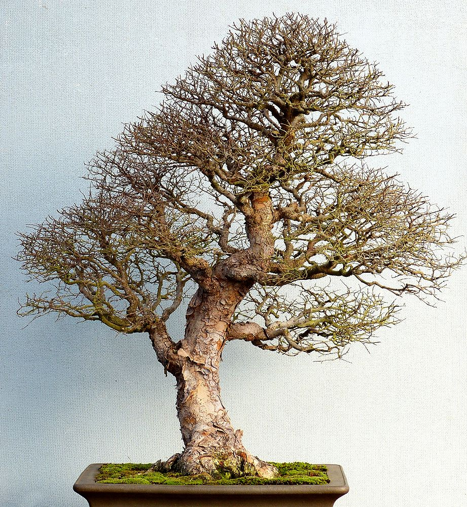 60 Best E Pictures Chinese Elm Ideas Bonsai Tree Bonsai Chinese Elm Bonsai