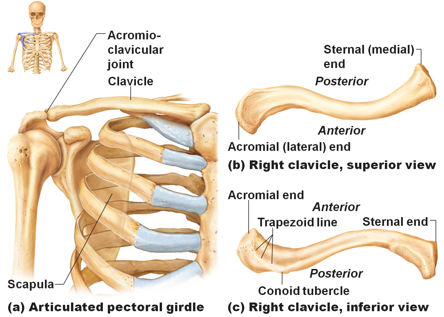 clavicle fracture anatomy and function - health, medicine and, Skeleton
