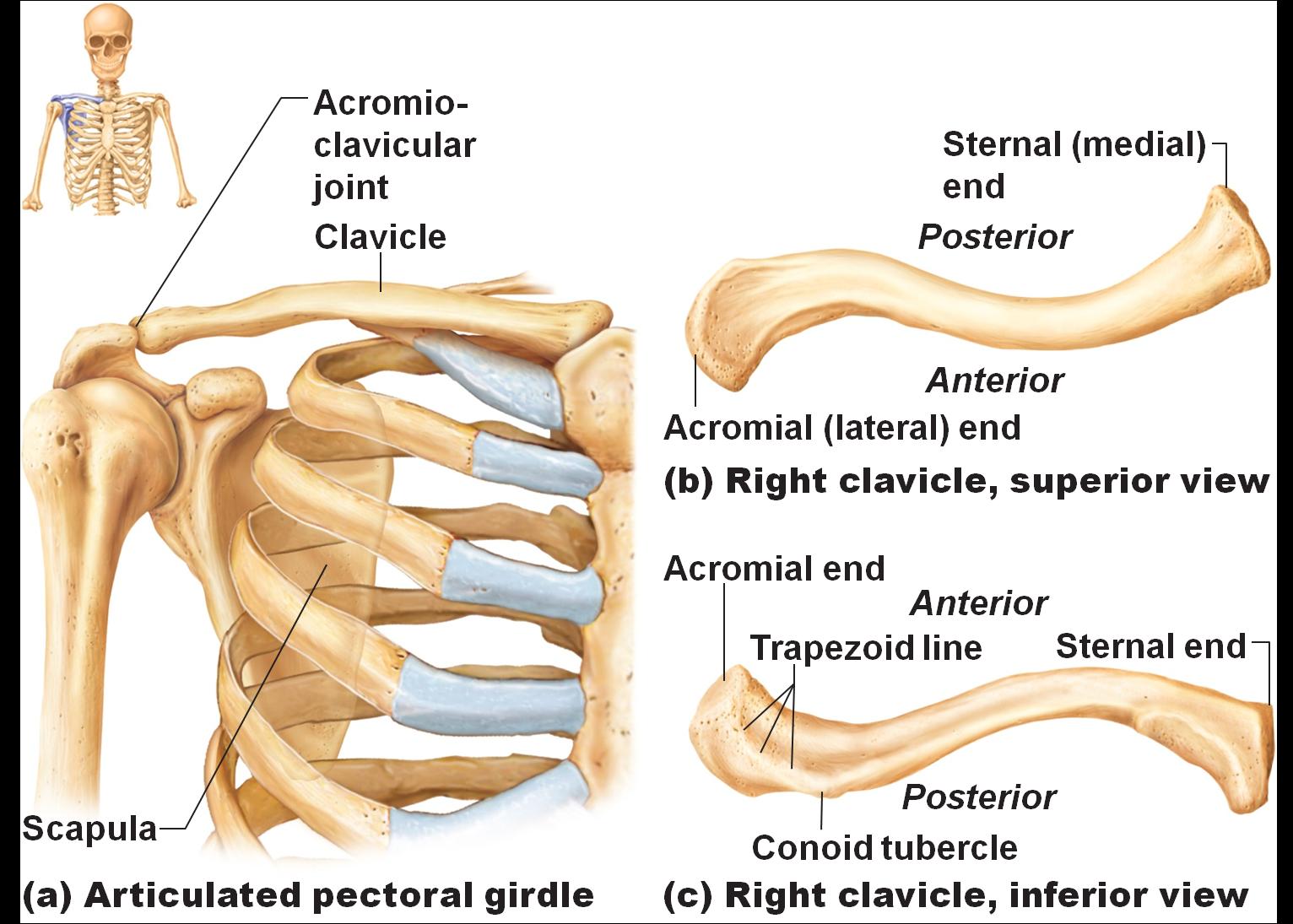 Broken Collar Bone Diagram - Wiring Library •