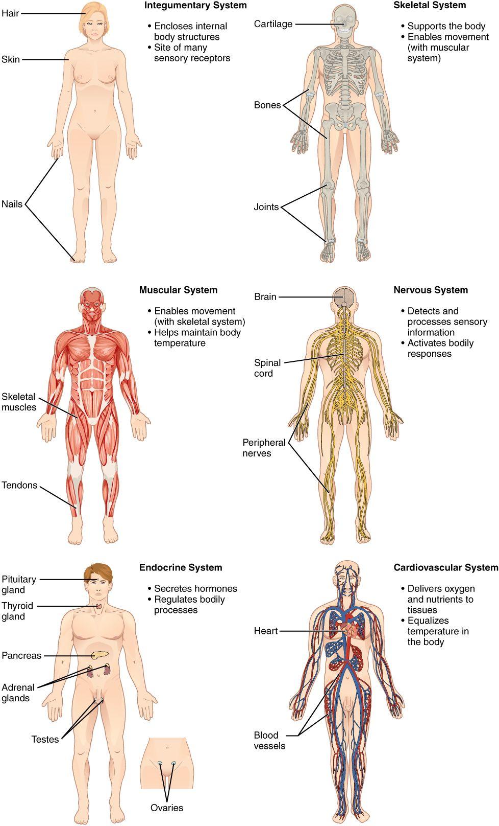 Human Anatomy Journals Choice Image Human Anatomy Learning Human Body Organs Human Body Anatomy Human Integumentary System