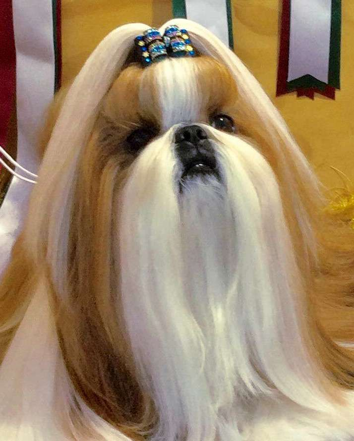 Shih Tzu, Lhasa Apso and Tibetan Terrier » JaneDogs (With