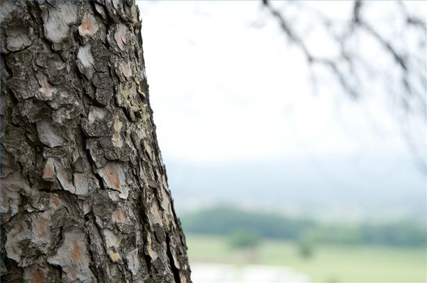 How To Draw Oak Bark Ehow Oak Tree Bark Tree Pine Oil
