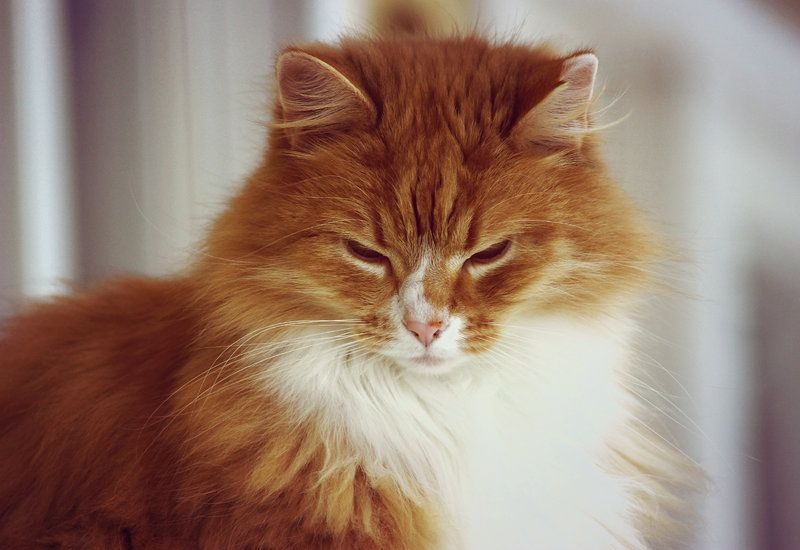 fluffy white and orange cats - photo #6