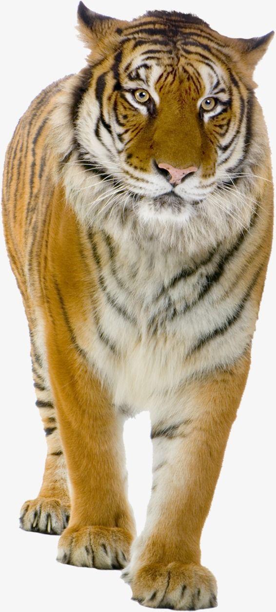 Tiger Animal Raptor Png Transparent Clipart Image And Psd File For Free Download Tiger Artwork Tiger Images Animals Wild