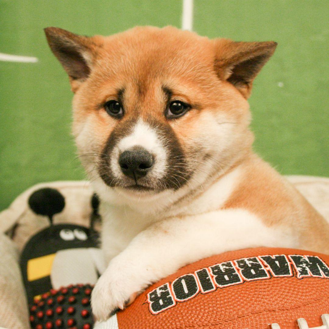 Shiba Inu Shiba Inu Shiba Puppy Shiba Inu Puppy