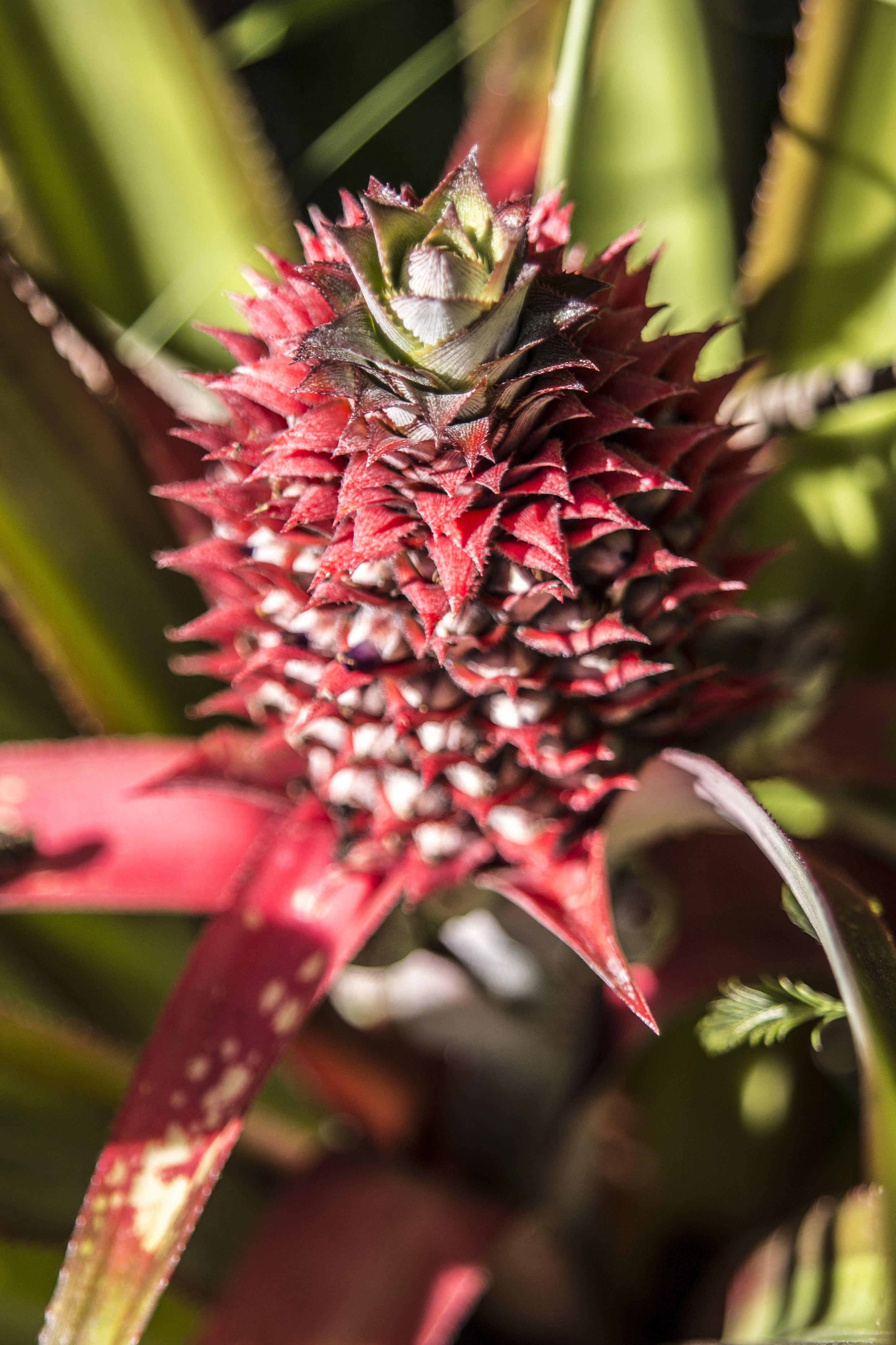 Pineapple Grown On Guam Eat Local Growing Pineapple Healthy