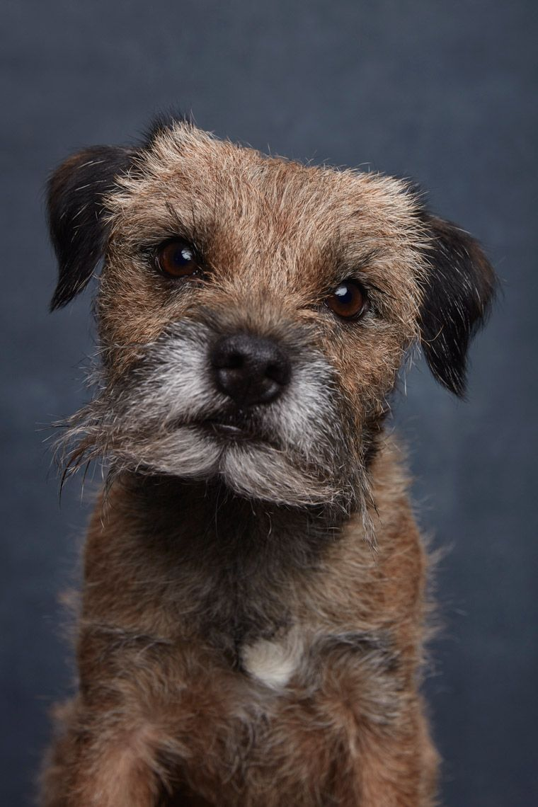 Border Terrier By Ty Foster Border Terrier Terrier Cute Dogs