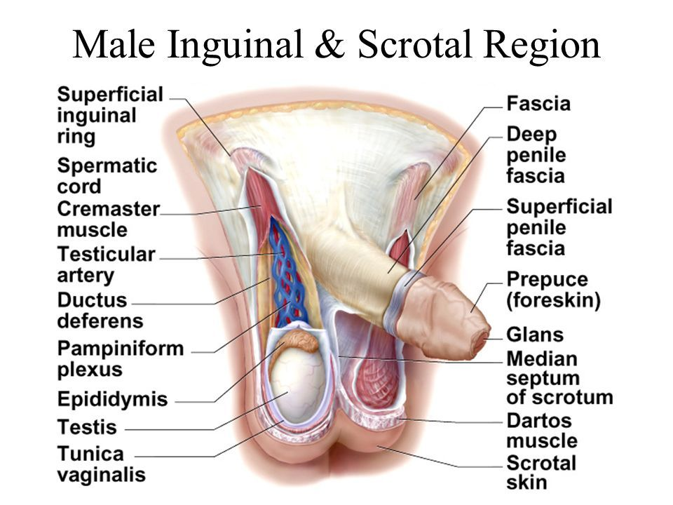Male inguinal and scrotal region anatomy - www.anatomynote.com ...