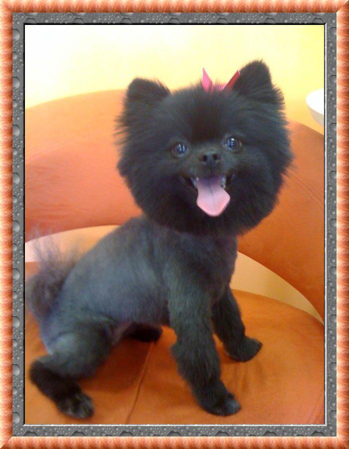 Lion Hair Cut For Dogs : Kamila