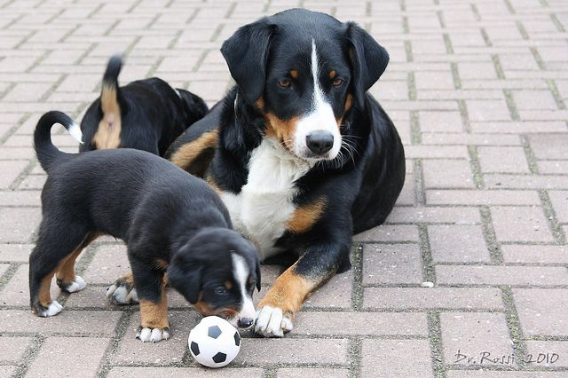 Appenzeller Mother And Baby Dog Breeds Pictures Dog Breeds Dog