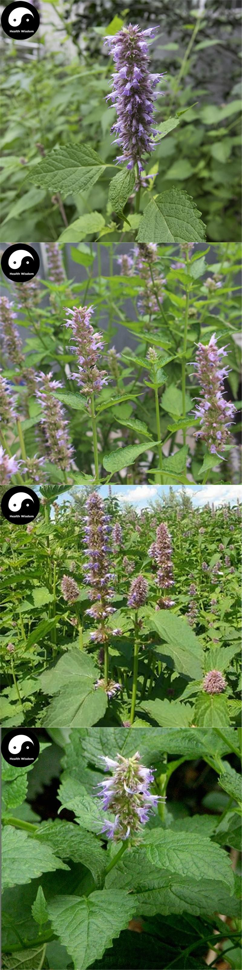 Buy Potchouli Herb Seeds 500pcs Plant Agastache Rugosa For Herba