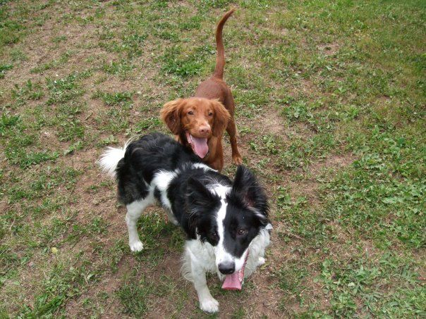 Outside Playing Catch With The Puppies Irish Setter Border Collie Irish Setter Border Collie Puppies