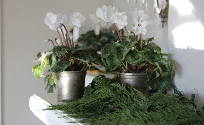 PLANT OF THE WEEKWITHMICHELLE SLATALLA: A White Christmas, with Potted Cyclamen - what a beautiful and fresh twist to Christmas decorating!