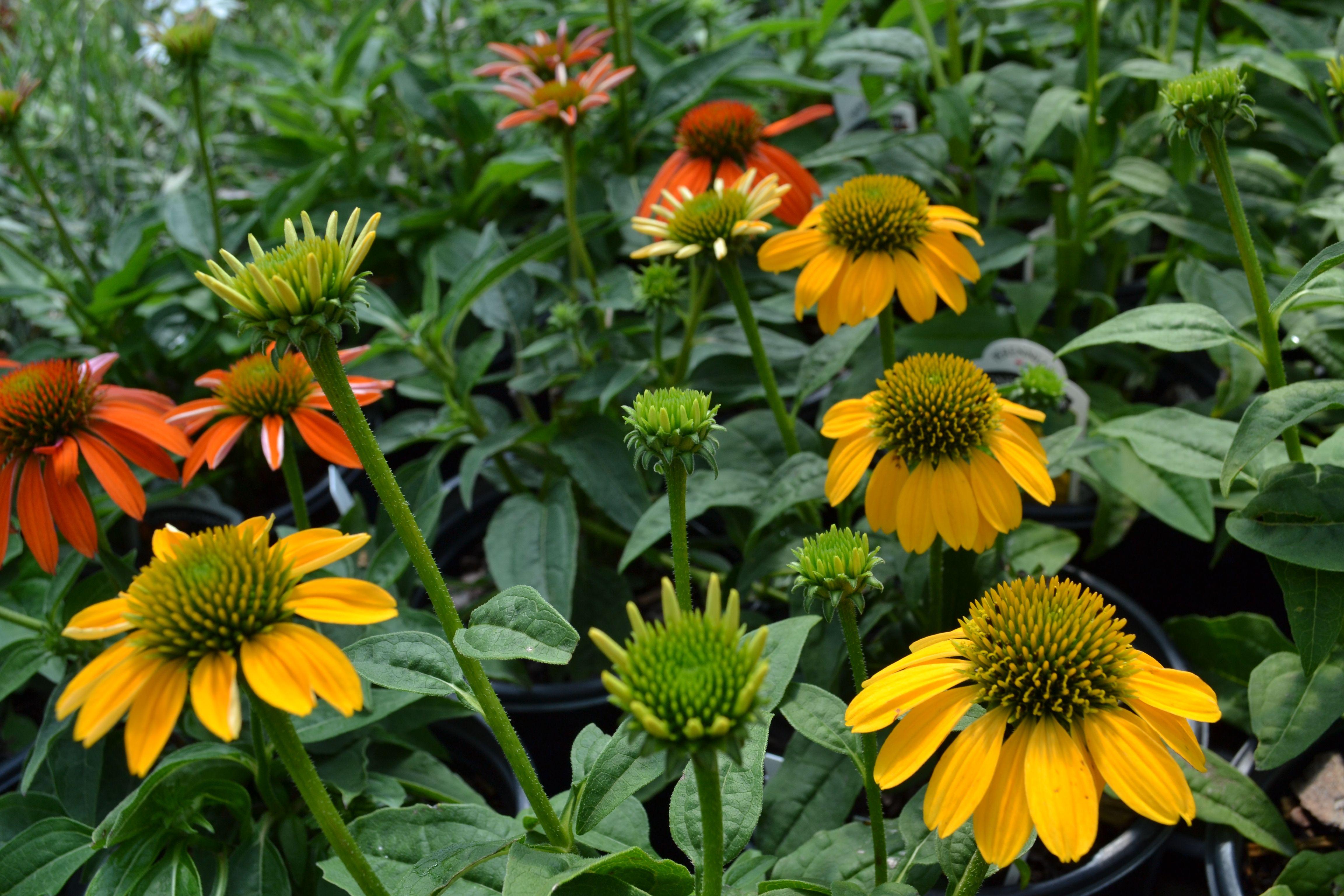 Coneflower Need Gardening Advice Colonial Gardens Is Here To