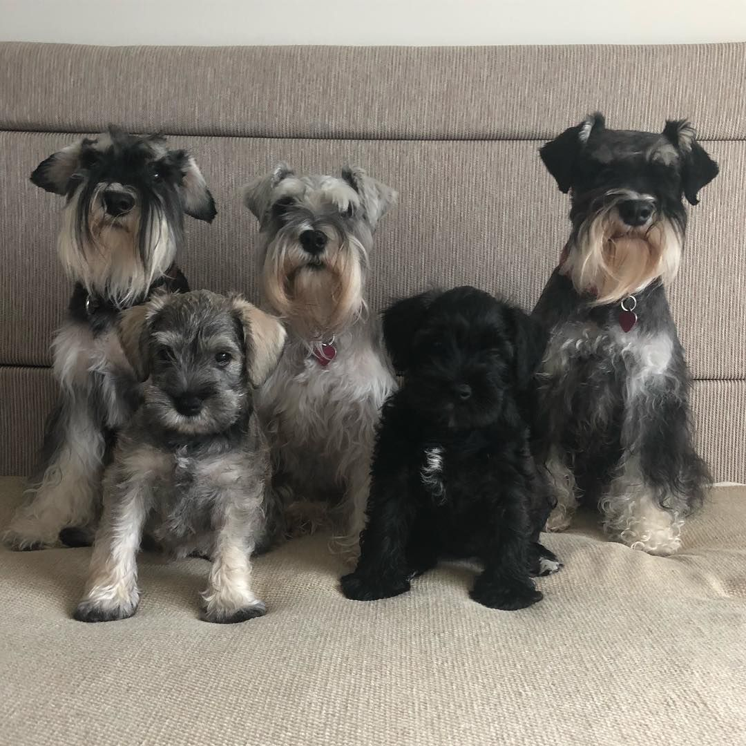 Kingston Schnauzers Here Is Our Family Photo Before The Pups Leave For Their New Homes Mini Schnauzer Puppies Schnauzer Puppy Pup