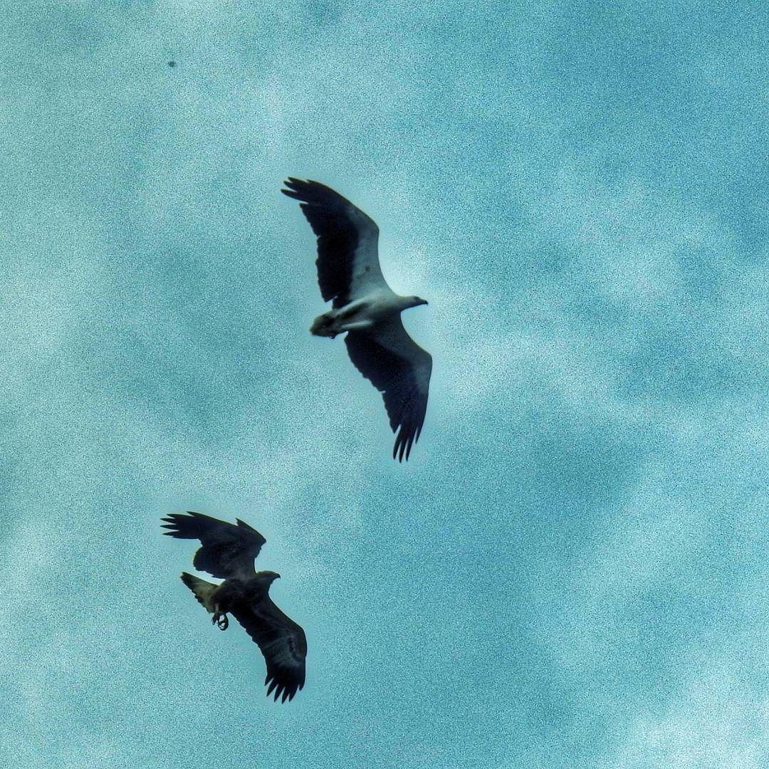 Going on a date  #eagles #birdsofsingapore #inflight #wildlifephotography #birdwatching #outdoor #myproject #mypic #sgig #myhometown #hometurf #Singapore #ig_singapore #hometowntourist #cityexplorer #staycation #nikonp900 #nikon_photography_