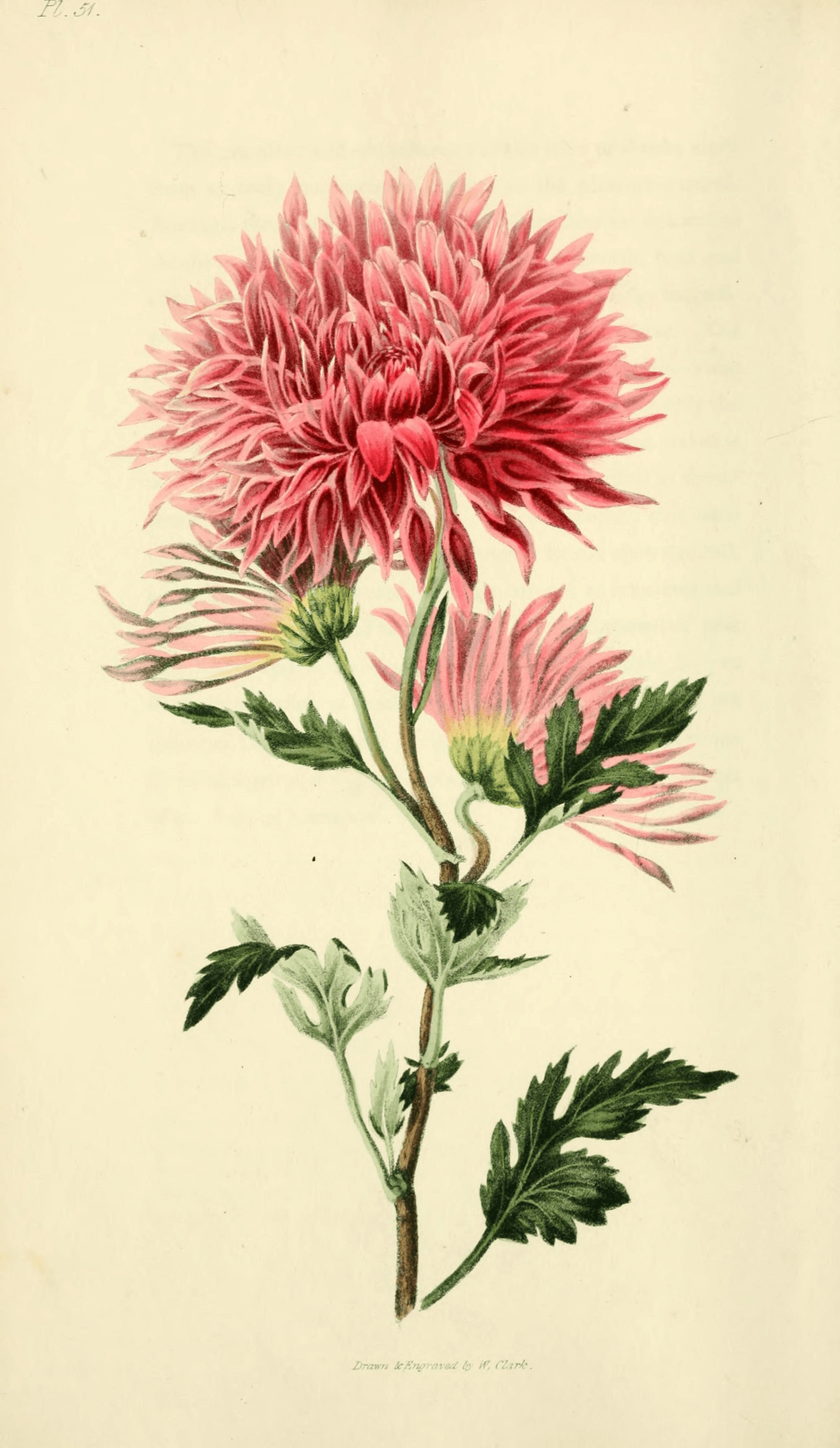 Chrysanthemum illustration Botanical drawings, Botanical
