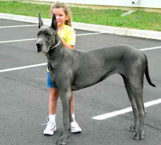 Great Danes For Adoption Great Dane Rescue This Great Dane