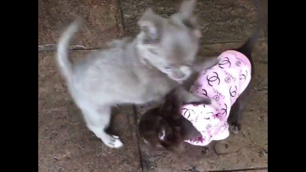 You Ll Love This Female Chihuahua Puppy Looking For A New Home