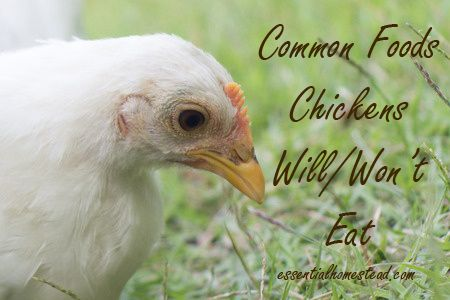 Common foods chickens will/won't eat.  #chicken #food  http://essentialhomestead.com/common-foods-chickens-willwont-eat/