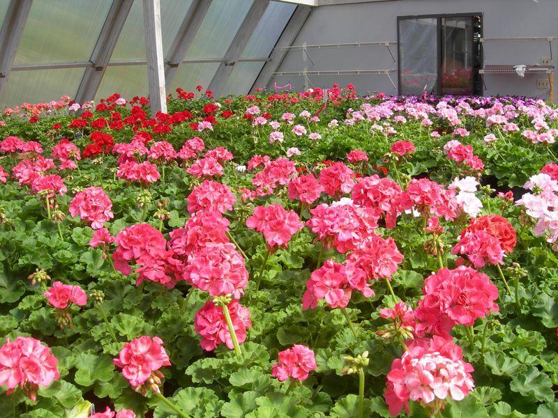 Geraniums Farm nursery, Garden, Geraniums