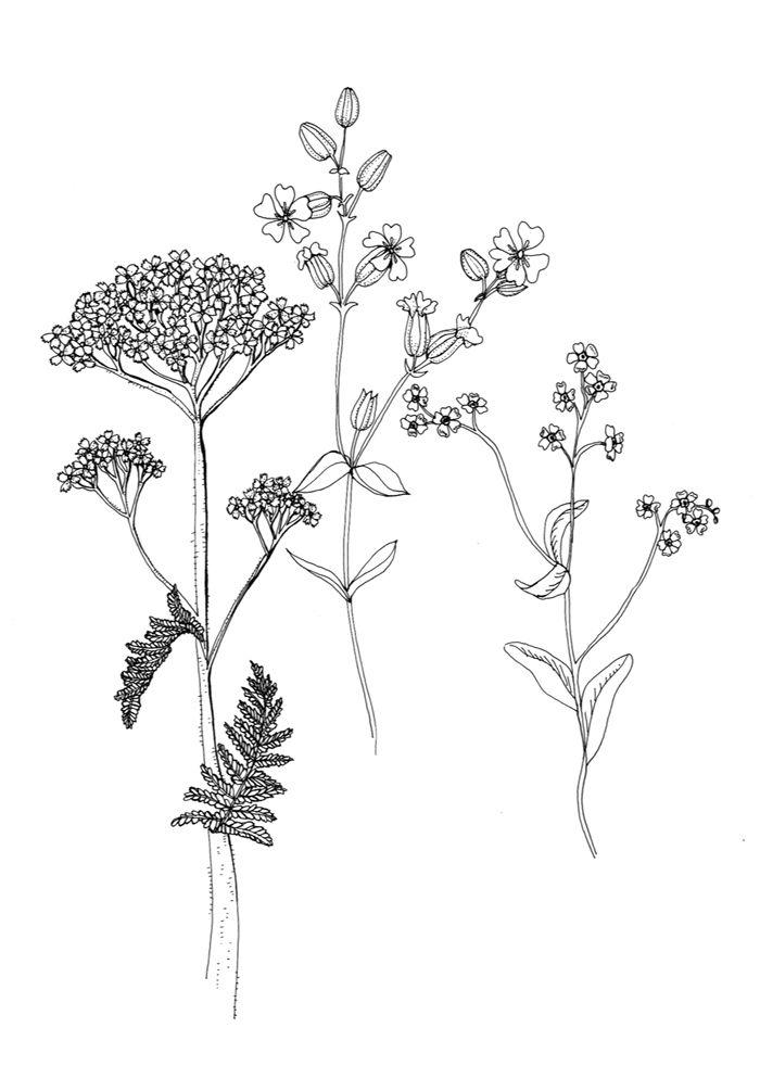 Wild Flower Drawings 4 Jpg 700 982 Pixels Flower Drawing Flower