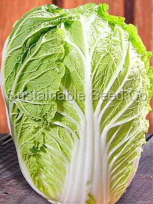 Michihili Chinese Cabbage Seeds 70 Days 1 Gram Pkg Of Seeds Approx 400 700 Seeds Michihili Cabbage P Cabbage Seeds Heirloom Vegetables Heirloom Seeds