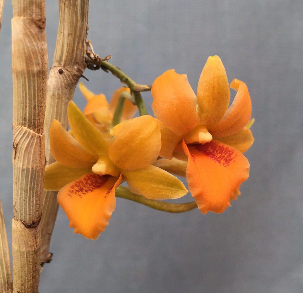 Dendrobium Crocatum Ch 20721 Dendrobium Orange Orchid Orchidsbyhausermann Orchidaceae Orchids Planting Flowers
