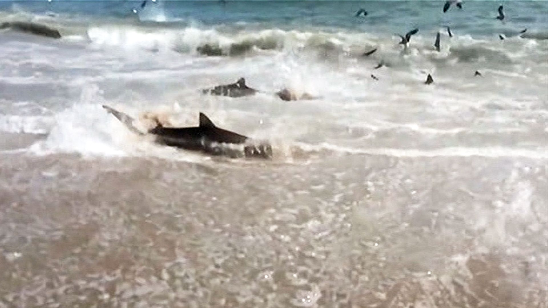 Shark Feeding Frenzy Caught On Tape Shark Shark Attack Shark Swimming