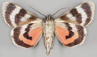 Catocala adultera Ménétriés, (underside) Finland; Ta:Vilppula; 6877:361; 17.-23.8.2003
