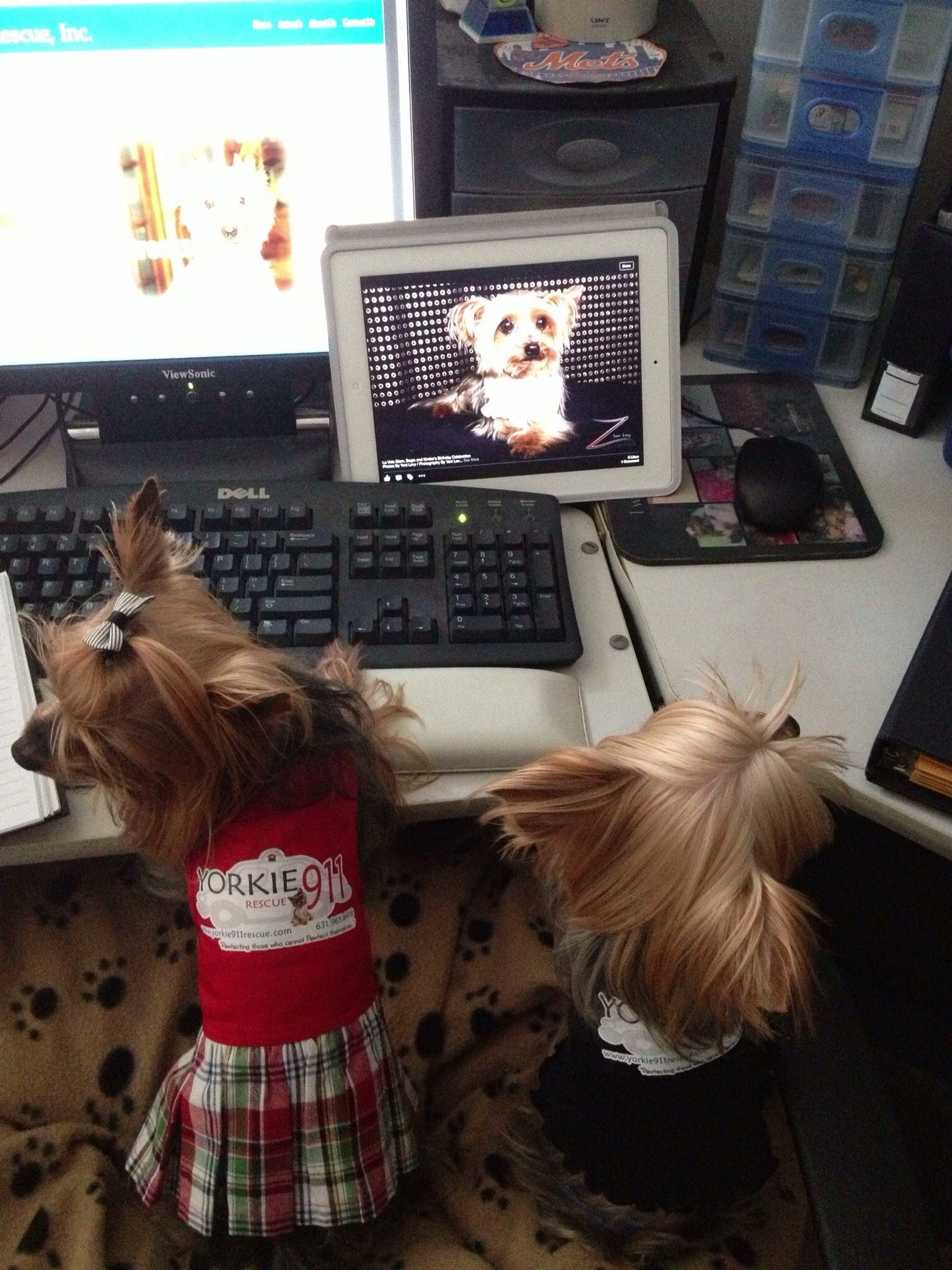 Yorkies at work.....
