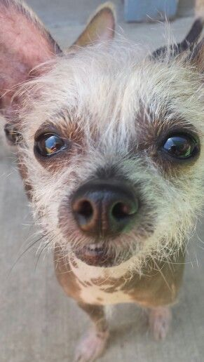 Happy Chinese crested