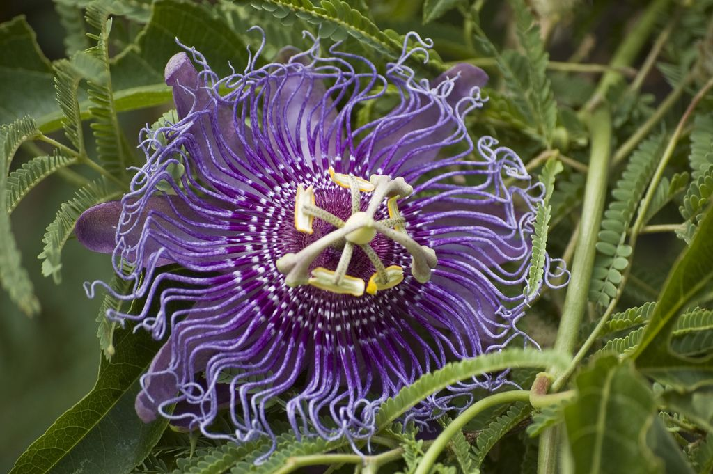 Passion Flower Winter Care Indoors Tips For Over Wintering Passion Flower Passion Flower Plant Passion Flower Passion Fruit Plant